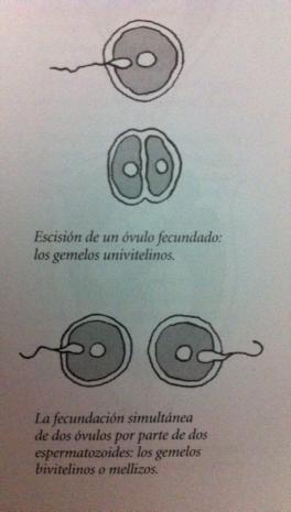 comportamiento del óvulo en caso de gemelos y mellizos