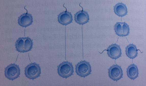 division ovulo gemelos monocigoticos mellizos dicigoticos gemelos de cuerpos polares